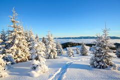 Spruce trees stand in snow swept mountain meadow under a blue winter sky. On the lawn covered with white snow. Spruce trees stand in snow swept mountain meadow stock photo