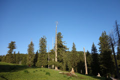 Spruce trees in summer royalty free stock images