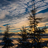 Spruce Trees Stock Photography
