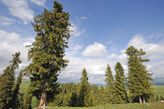 Spruce trees Royalty Free Stock Photo