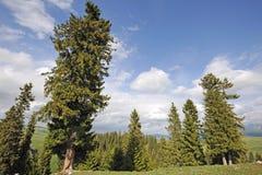 Spruce trees royalty free stock photo