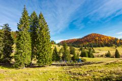 Spruce trees in the valley in autumn. Beautiful landscape in mountains. gorgeous light and mood, wonderful day spent outdoors in nature Stock Photo