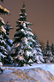 Spruce trees at winter park. In late evening Royalty Free Stock Image