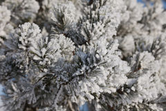 spruce treevinter för frost Royaltyfri Bild