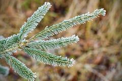 spruce treevinter för frost Arkivbild