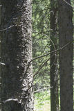 Spruce trunk Royalty Free Stock Photo