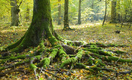 Spruce trunk and visible roots Stock Photo