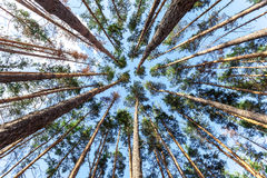 Spruce trunks converge in perspective in blue sky Royalty Free Stock Photography