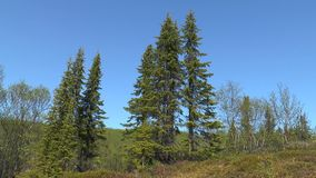Spruce in the tundra. On the background of blue sky stock video footage
