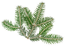 Spruce twig Royalty Free Stock Images