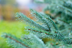 Spruce twig Royalty Free Stock Photo