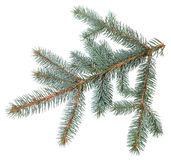 A spruce twig Royalty Free Stock Photo