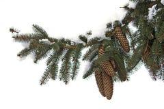 Spruce twig Stock Image
