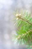 Spruce twig Stock Images