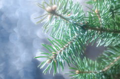 Spruce twig Royalty Free Stock Photography