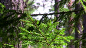 Spruce twig. Colors of autumn, spruce twig stock footage