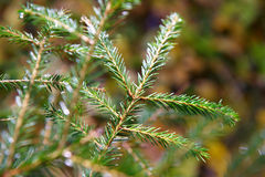 Spruce twig Stock Photo