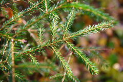 Spruce twig Royalty Free Stock Photos