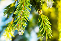 Spruce twig with frozen ice droplets. Illuminated low winter sun. Royalty Free Stock Image