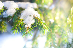 Spruce twig with frozen ice droplets. Illuminated low winter sun. Stock Images