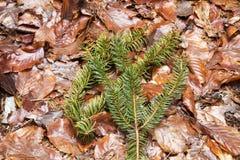 Spruce twig Stock Photos