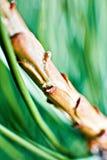 Spruce twig macro, green needles Stock Image