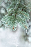 Spruce twig. Needles covered with ice. Winter background. Royalty Free Stock Images