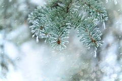 Spruce twig. Needles covered with ice. Winter background. Stock Photos