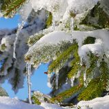 Spruce twig in snow Stock Photo