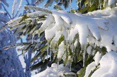 Spruce twig in snow Royalty Free Stock Photography