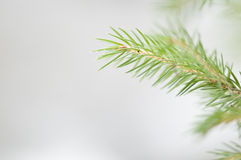 Spruce twig on snow background Royalty Free Stock Photography