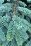 Spruce twig. Sprig of spruce as a background close-up Royalty Free Stock Image