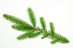 Spruce twig at white Royalty Free Stock Images