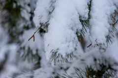 Spruce twig winter snow Royalty Free Stock Image