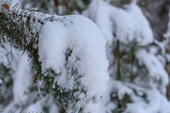 Spruce twig winter snow Royalty Free Stock Photography