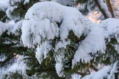 Spruce twig winter snow Stock Photos