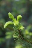Spruce twig Royalty Free Stock Image