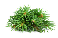 Spruce Twigs. Stock Images