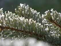 Spruce twigs. With snow crystals Stock Image