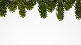 Spruce twigs Stock Photo