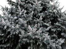 Spruce twigs covered with hoarfrost Stock Images