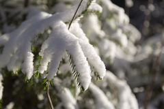 Spruce Twigs Covered in Snow Royalty Free Stock Photos