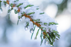Spruce twigs. On pins and needles hanging frozen droplets of ice. Stock Image