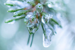 Spruce twigs. On pins and needles hanging frozen droplets of ice. Royalty Free Stock Images
