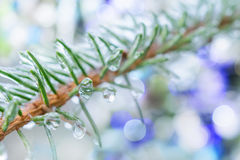 Spruce twigs. On pins and needles hanging frozen droplets of ice. Royalty Free Stock Photo
