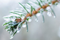 Spruce twigs. On pins and needles hanging frozen droplets of ice. Stock Photos