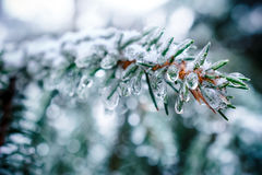 Spruce twigs. On pins and needles hanging frozen droplets of ice. Stock Photo