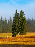 Spruce twin Royalty Free Stock Images