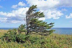 Spruce vid hav Royaltyfri Fotografi