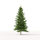Spruce on white Royalty Free Stock Images